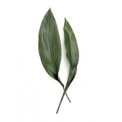 Aspidistra Green 25 Bunches