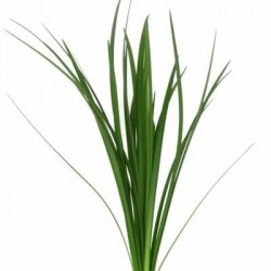 Lily Grass Green 20 Bunches