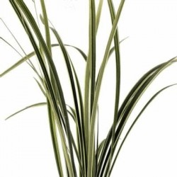 Lily Grass Variegated 20 Bunches