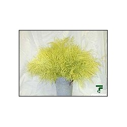 Color Fresh Tree Fern Yellow 20 Bunches