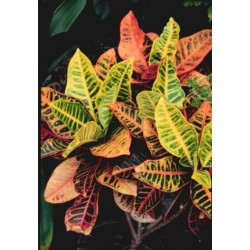 Croton Leaves 20 Bunches