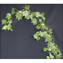 English Ivy 15 Bunches
