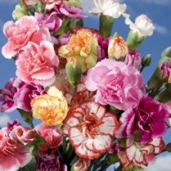 Mini Carnations Assorted 15 Bunches