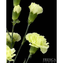 Mini Carnations Green 15 Bunches