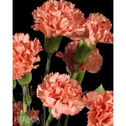 Mini Carnations Orange 15 Bunches