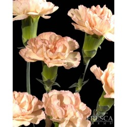 Mini Carnations Peach 15 Bunches