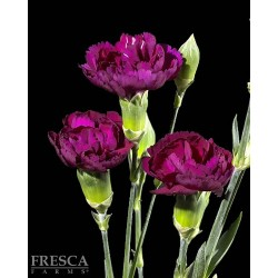 Mini Carnations Purple 15 Bunches