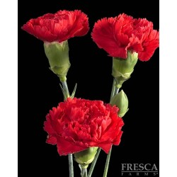 Mini Carnations Red 15 Bunches