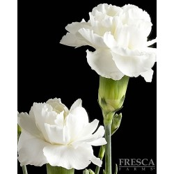 Mini Carnations White 15 Bunches