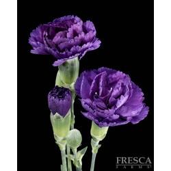 Florigene Mini Carnation Moonique 20 Bunches