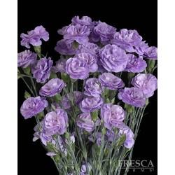Florigene Mini Carnation Moonpearl 20 bunches