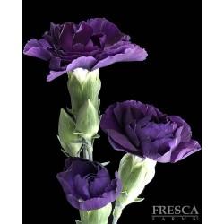 Florigene Mini Carnation Moonvelvet 20 Bunches