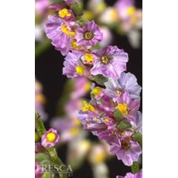 Hybrid Limonium Assorted 12 Bunches
