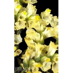 Hybrid Limonium Yellow 12 Bunches