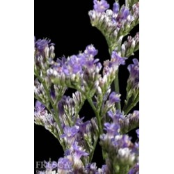 Hybrid Limonium Purple 12 Bunches