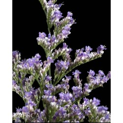 Limonium Purple Haze 12 Bunches
