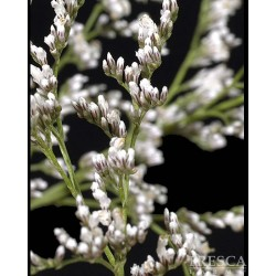 Limonium Misty White 12 Bunches