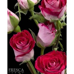 Spray Rose Assorted 10 Bunches