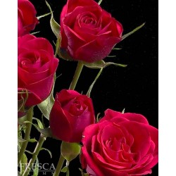 Spray Rose Red 10 Bunches