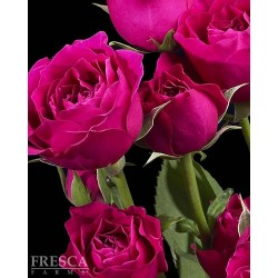 Spray Rose Hot Pink 10 Bunches