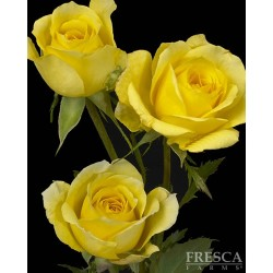 Spray Rose Yellow 10 Bunches
