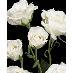 Spray Rose White 10 Bunches