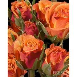 Spray Rose Orange 10 Bunches