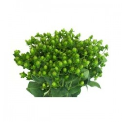 Hypericum Green 15 Bunches