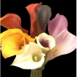 Mini Calla Lily Assorted 60 Stems