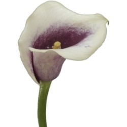 Mini Calla Lily Picasso 60 Stems