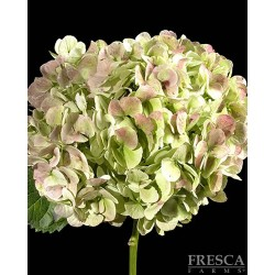 Hydrangea Antique Green 10 Stems