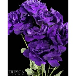 Lisianthus Purple 6 Bunches