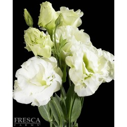 Lisianthus White 6 Bunches