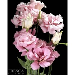 Lisianthus Pink 6 Bunches