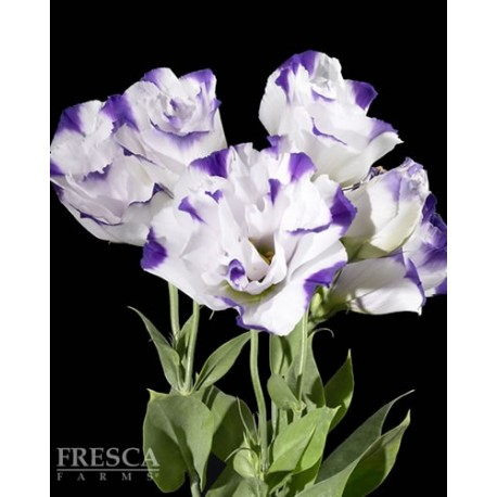 Lisianthus Two Tone 6 Bunches