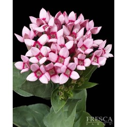 Bouvardia Assorted 12 Bunches