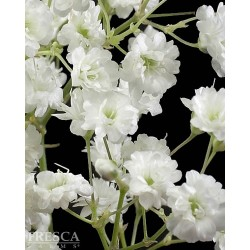 Million Star Gypsophilia 13 Bunches