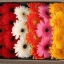 Assorted Gerbera Daisy 60/100 stems