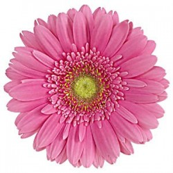 Pink Gerbera Daisy 60/100 stems