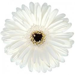 White Gerbera Daisy 60/100 stems