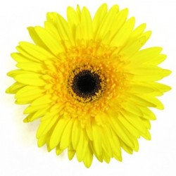 Yellow Gerbera Daisy 60/100 stems