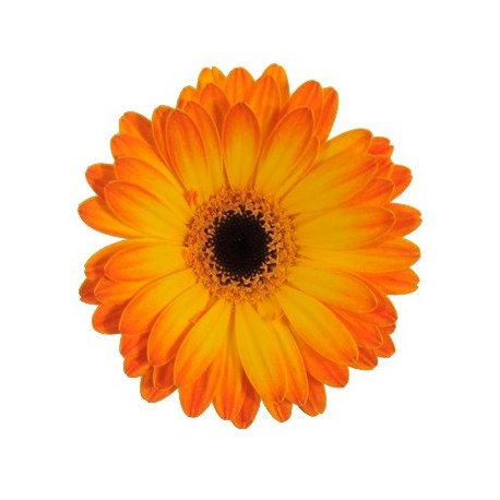 Orange Gerbera Daisy 60/100 stems
