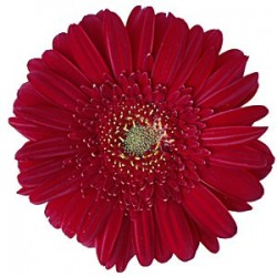 Red Gerbera Daisy 60/100 stems