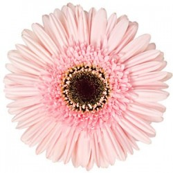 Light Pink Gerbera Daisy 60/100 stems