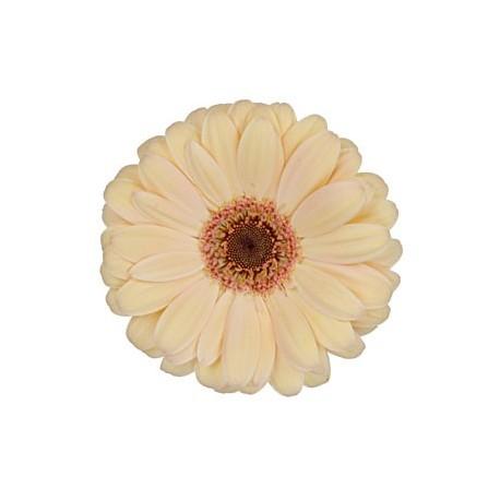 Peach Gerbera Daisy 60/100 stems