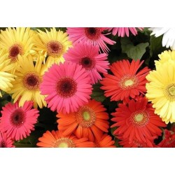 Custom Pack Gerbera Daisies 100 Stems
