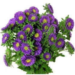 Matsumoto Aster Lavender 10 / 5 Bunches