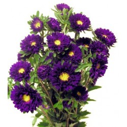 Matsumoto Aster Dark Purple 10 / 5 Bunches