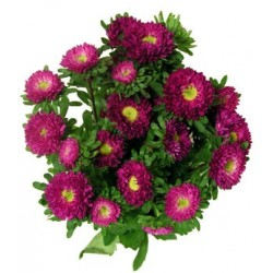 Matsumoto Aster Pink 10 / 5 Bunches