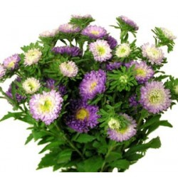 Matsumoto Aster Bi Color Lavender 10 / 5 Bunches